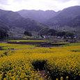 Rape Blossoms Fields, Iiyma, Nagano